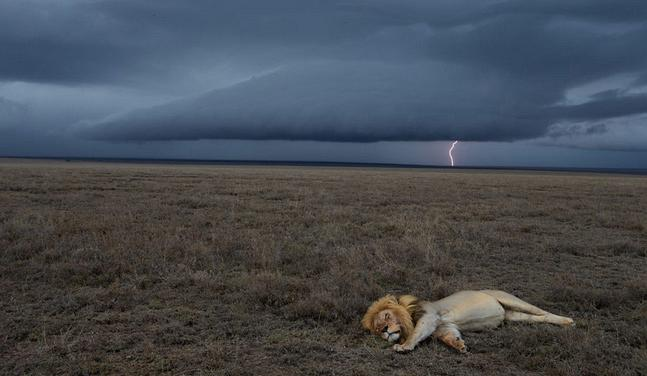 serengeti_lion